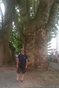 locarno oak tree