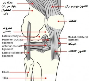 Knee joint ligament 2
