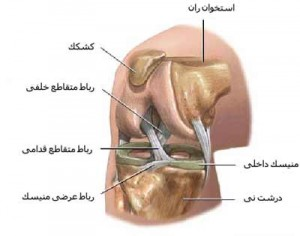 Knee joint ligament 3