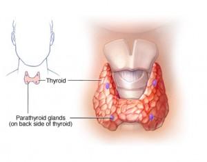 parathyroid-glandd